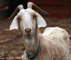 Mountain Goat Defends Bieber
